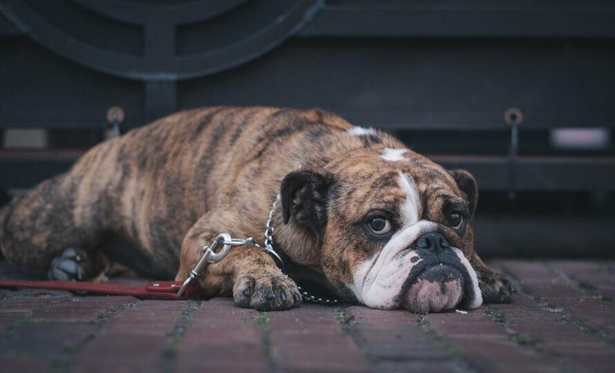 A dog lying on its stomach looking sad